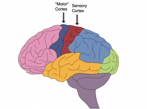 What Is A Sensory Cortex? Know Its Importance, Function & Overview