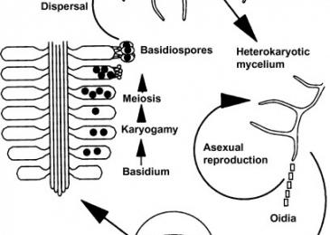 Plasmogamy: Definition, Alternatives Karyogamy & Meiosis